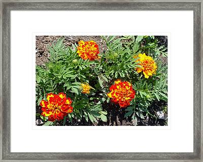 Framed Print featuring the photograph A Dazzling Foursome by Frank Wickham