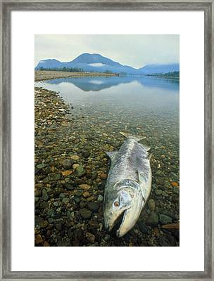 A Dead Chinook Salmon Seen Shortly After Spawning Framed Print