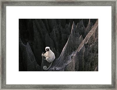 A Deckens Sifaka Lemur In The Grand Framed Print by Stephen Alvarez