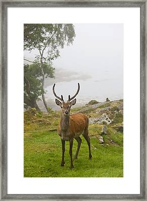 A Deer Stands In A Foggy Meadow By The Framed Print by John Short