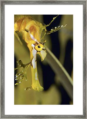 A Delicate Leafy Sea Dragon Head Detail Framed Print