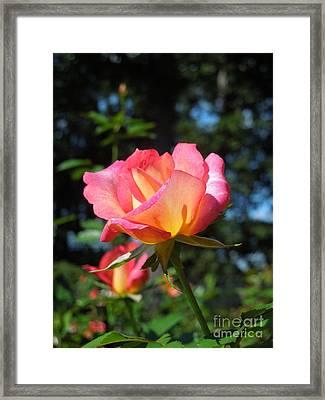A Delicate Rose Framed Print