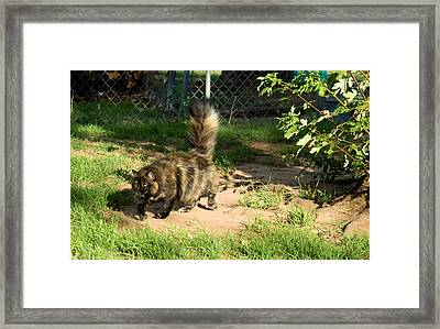 A Different Calico Cat Framed Print by Cheryl Poland