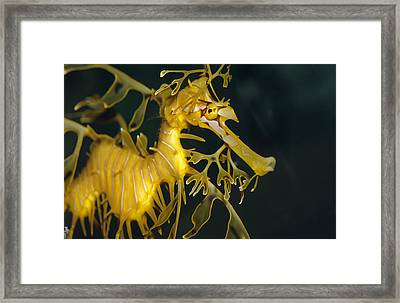 A Diminutive Leafy Sea Dragon Framed Print