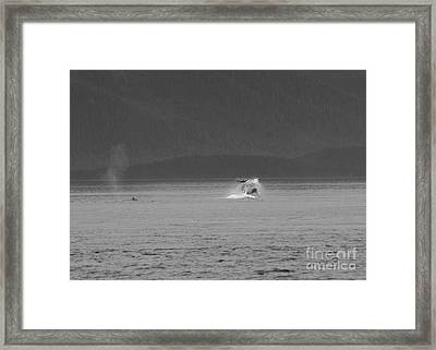 A Distant Breaching Whale In Black And White Framed Print