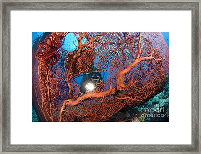A Diver Peers Through A Red Sea Fan Framed Print