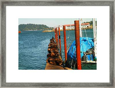 A Dock Of Sea Lions Framed Print by Jeff Swan