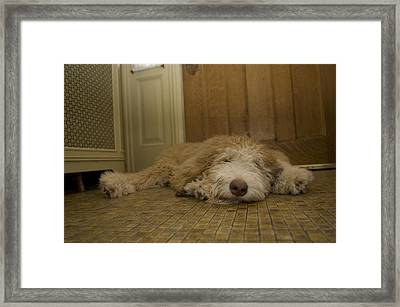 A Dog Lies On A Linoleum Floor Framed Print by Joel Sartore