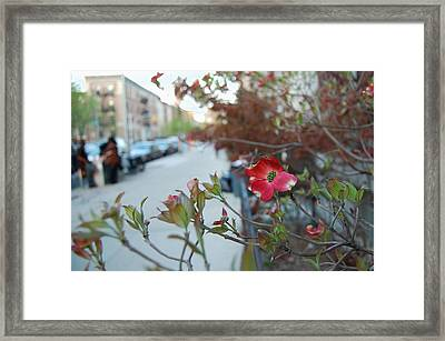 A Dogwood Grows In Brooklyn Framed Print