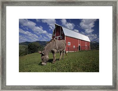 A Donkey Grazing Near A Large Red Barn Framed Print by Ed George