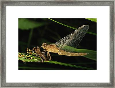 A Dragonfly, Family Libellulidae Framed Print by Tim Laman