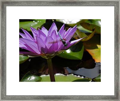 A Dragonfly Guarding His Water Lily Framed Print
