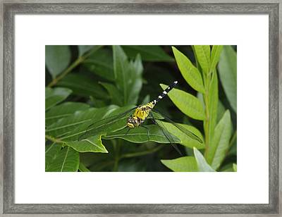 A Dragonfly Resting On A Leaf Framed Print by George Grall