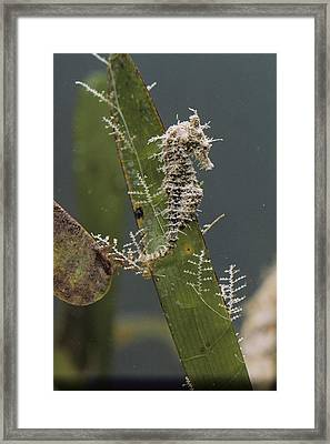 A Dwarf Sea Horse On Turtle Grass Framed Print by Robert Sisson