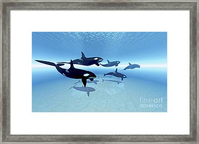 A Family Of Killer Whales Search Framed Print by Corey Ford