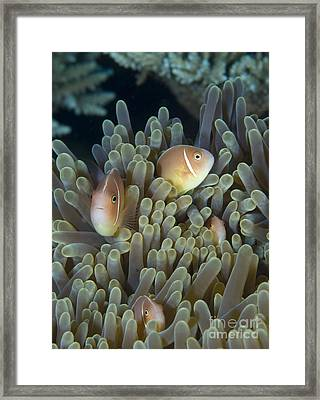 A Family Of Pink Anemonefish Framed Print by Steve Jones
