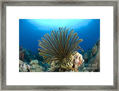 A Feather Star With Arms Extended Framed Print by Steve Jones