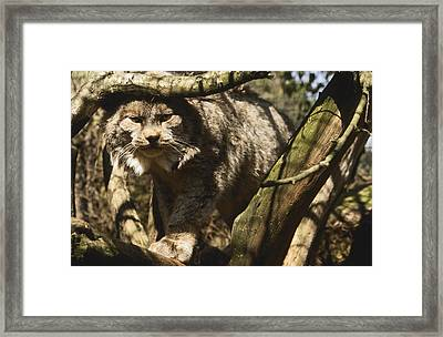 A Female Northern Lynx With Her Thick Framed Print by Jason Edwards