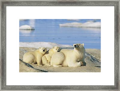 A Female Polar Bear And Her Cubs Framed Print