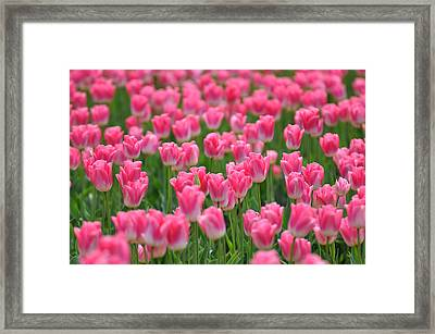 Framed Print featuring the photograph A Field Of Pink Tulips by Ronda Broatch