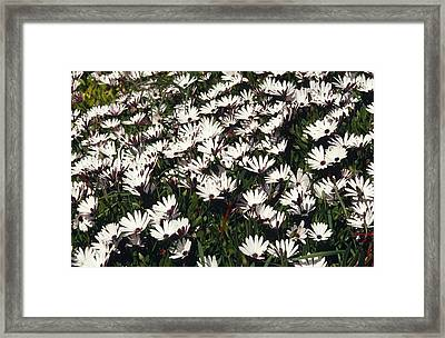 A Field Of Prolofic White Daisy Flowers Framed Print by Jason Edwards