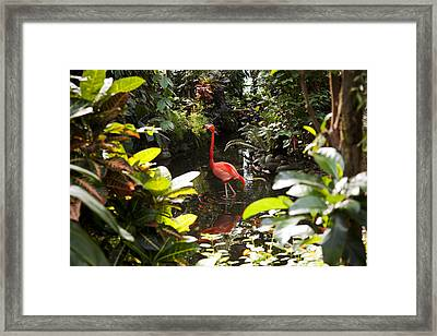 A Flamingo Wades In Shallow Water Framed Print