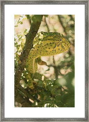 A Flap-necked Chameleon Well Framed Print by Jason Edwards