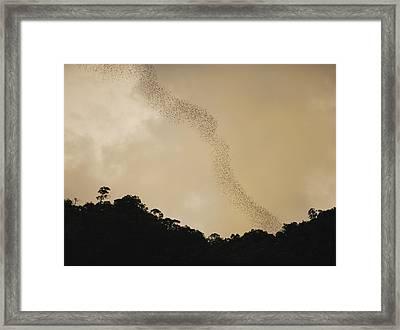 A Flight Of Bats Streams From A Dark Framed Print by Mattias Klum