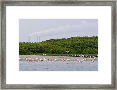 A Flock Of Juvenile And Adult Roseate Framed Print by Tim Laman