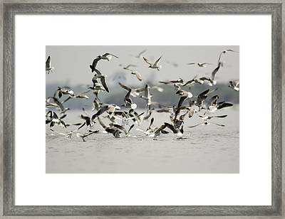 A Flock Of Laughing Gulls Larus Framed Print by Tim Laman