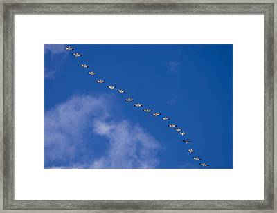 A Flock Of Snow Geese Chen Framed Print by Ralph Lee Hopkins