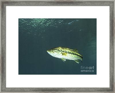 A Florida Largemouth Bass In The Clear Framed Print by Terry Moore