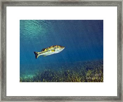 A Florida Largemouth Bass Swims Framed Print by Terry Moore