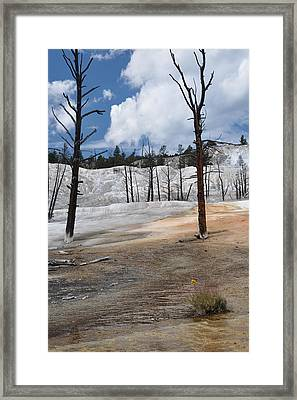 A Flower Blooms In Mammoth Hot Springs Framed Print