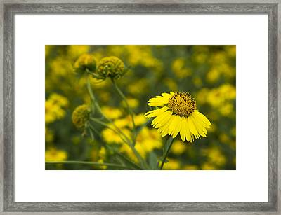 A Flower Of Cowpen Daisy Says Hello  Framed Print by Ellie Teramoto