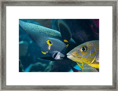 A French Angelfish Swims Up Close Framed Print by Terry Moore