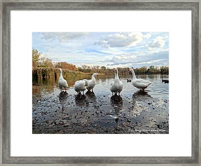 A Gaggle Of Geese 1 Framed Print
