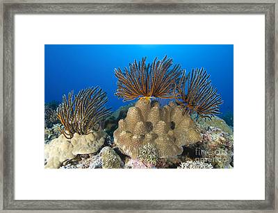 A Gathering Of Crinoid Feather Stars Framed Print