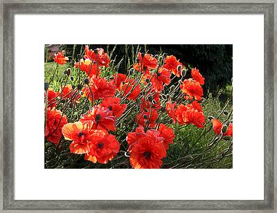 A Gathering Of Poppies Framed Print