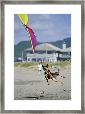 A German Shepherd Leaps For A Kite Framed Print by Phil Schermeister