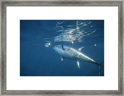 A Giant Bluefin Tuna Feeds Framed Print by Brian J. Skerry