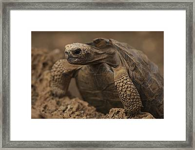 A Giant Galapagos Tortoise Crawling Framed Print by Ralph Lee Hopkins