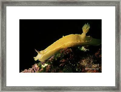 A Giant Yellow Chromodoris Framed Print by Sami Sarkis