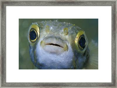 A Globe Fish Also Known As A Puffer Framed Print by Jason Edwards