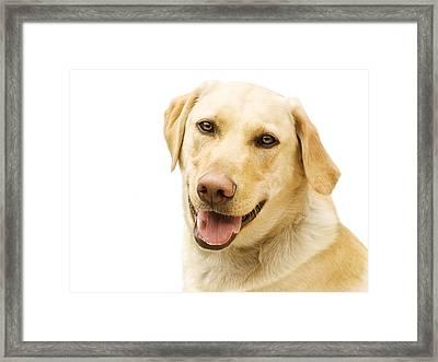 A Golden Labrador Framed Print by Chris Knorr