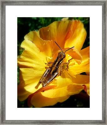 A Grasshopper Breakfast Framed Print by Cindy Wright