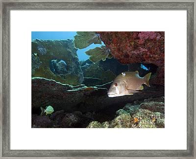 A Gray Snapper Swims Framed Print