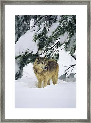 A Gray Wolf Stands Under Framed Print by Norbert Rosing