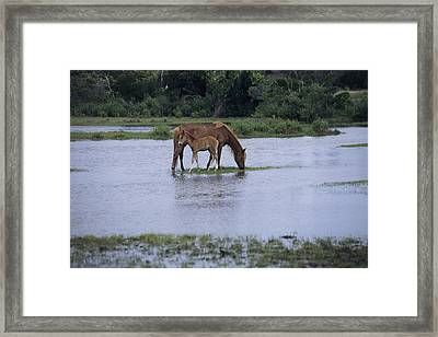 A Grazing Chincoteague Pony Framed Print