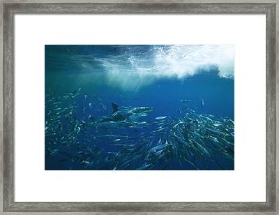 A Great White Shark Swims Close Framed Print by Mauricio Handler